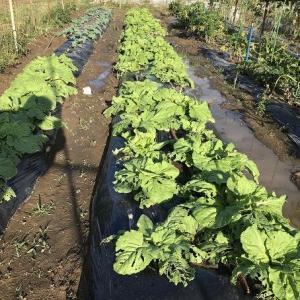 白菜順調に育つ?