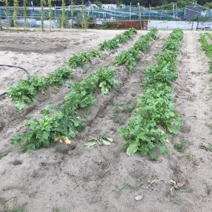 大根(耐暑総太り)の収穫をしています。