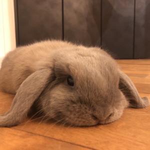 モリーさん(ウサギ)のバタン寝…