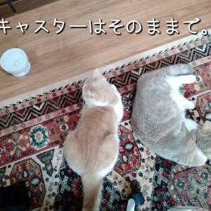 雨田甘夏、当たり屋です。【猫とお肉とモフ事情】