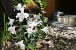 女性用の露天風呂でユリの花が満開です