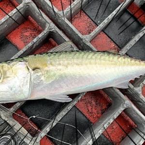 【釣り】尼崎市立魚つり公園がサバ天国だったよ