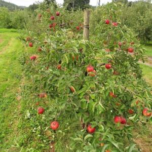 久々のリンゴ畑