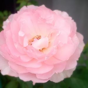 きょうのバラ.∴*゚ヒーリング (*^.^*)