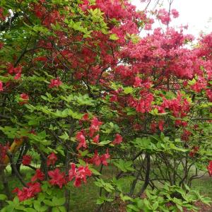 桜だけが見どころじゃないぞ!5月の赤城南面千本桜に行ってみた。