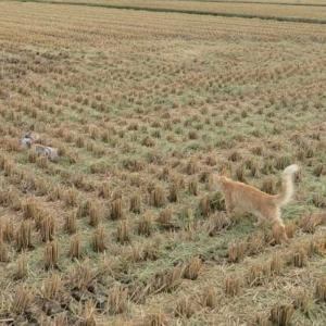 稲刈りが終わった田んぼに。。。