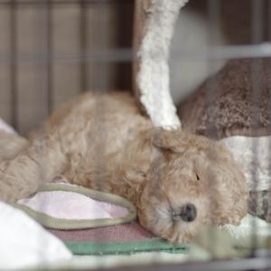 【トイプードルの飼い方】子犬を迎えた初日に飼い主さんがすること
