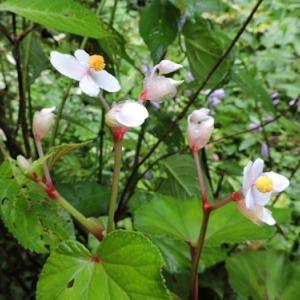 シュウカイドウの赤花と白花