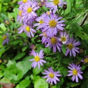 コンギク&茶の花