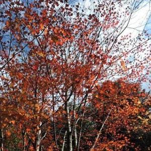 モミジやメグスリノキの紅葉