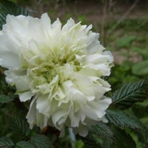山の庭のバラたち
