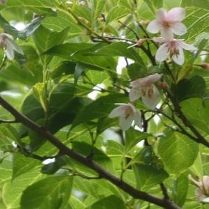 エゴノキ、紅花エゴノキ&草花&果樹