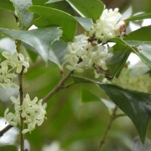 ヒイラギモクセイが咲いてます
