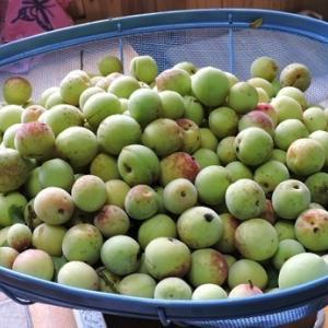 梅の実を摘む