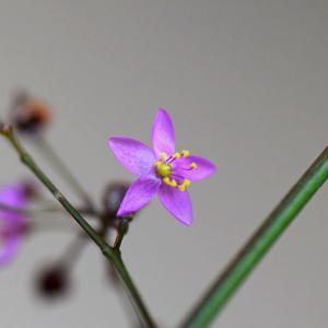 はぜらんの開花をタイムラプスムービーに