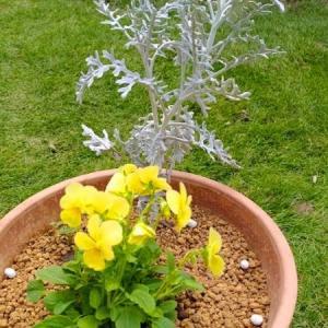 アネモネ・水仙を植える