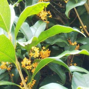 リモートワークの気分転換のお散歩、金木犀が香って秋を感じました