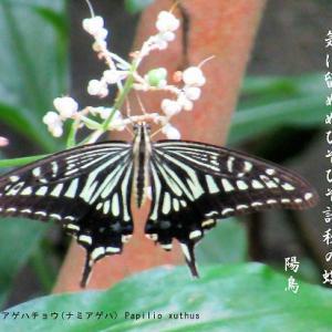 秋の蝶/ナミアゲハ