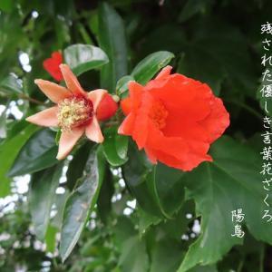 姫石榴の花