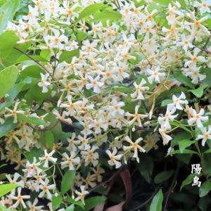 定家葛の花