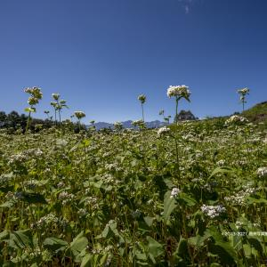 蕎麦の花と仁科三山