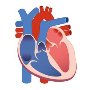 中学受験 理科 人体 静脈・動脈と静脈血・動脈血の違い