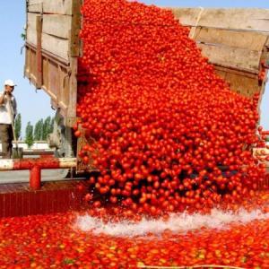 トマトのたたかい