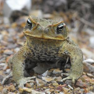 【生き物】共食いによって急成長するように進化したオオヒキガエル