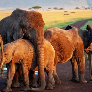 【生き物】象牙狩りのため牙を持たないアフリカゾウのメスが増加、これは進化か?