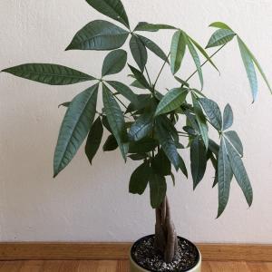[サンフランシスコ] 観葉植物1パキラ / Plants at home 1 Pachira