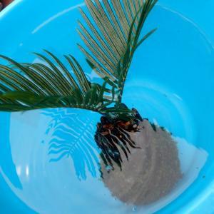 ソテツ苔玉の水やり動画