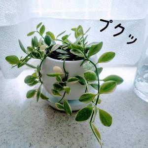 【観葉植物】初心者オススメ!プクッと可愛いディスキディア エメラルド