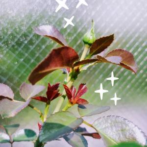 バラ新苗 ピンチ後の急成長