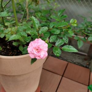 おはようございます!昨夜の雨にも負けず、ザフェアリーのかわいいお花が#おはようござ...