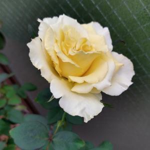 今朝のエリナ。上品な黄色が美しい#おはようございます #goodmorning#エリ...