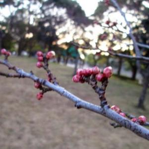 暖冬~咲きそうな梅の花~