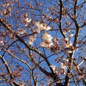 楽しい三連休~桜開花と黒ラブちゃん~
