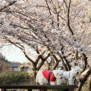 満開のお花見~近場が最高ヽ(^o^)丿