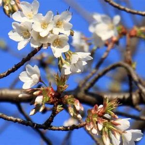 桜が咲いた~ゆり太地方~(^^♪