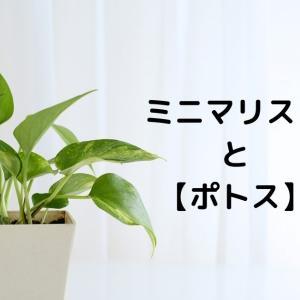 ミニマリストと観葉植物 【ポトス】