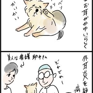 犬②の耳の炎症
