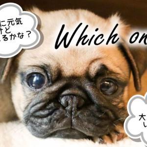 【子犬選び徹底解説】大人しいor元気な性格どっちがいい?【初心者が間違えやすい】