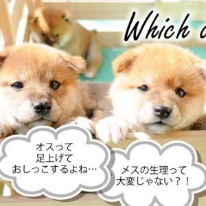 【子犬選び徹底解説】お迎えするならオスorメスどっち?