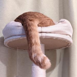 尾曲がり猫は幸せを呼ぶ?ニャンむぎも尾曲がりに見えるじゃないか