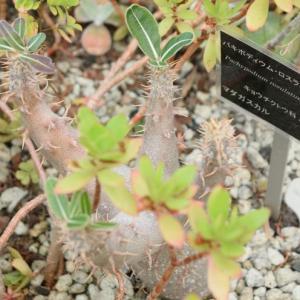 パキポディウム5種をメルカリで購入