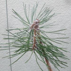 種子から始める黒松盆栽002