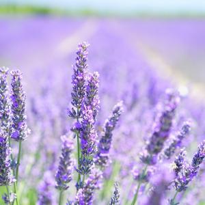 【ラベンダー Lavender】優雅な香りで極上リラックス【花言葉や取り入れ方】