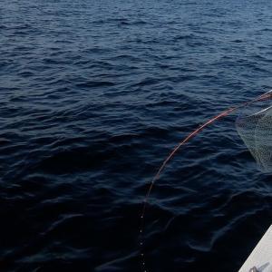 朝の散歩のアジ釣りがハマチに襲われ〜