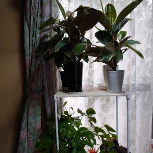 我が家の観葉植物達