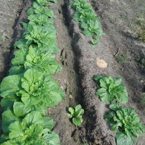 白菜の葉が巻いてきた。2回目の追肥のタイミング